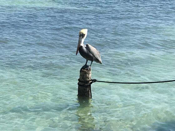 Pélican à San Pedro, Belize