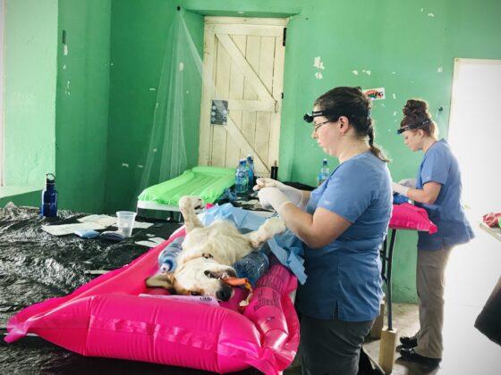 Chirurgie à la clinique vétérinaire FAVI à San Joaquin, Belize
