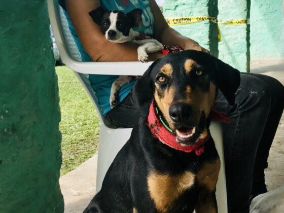 Une bénévole s'occupe de deux chiens à la clinique FAVI au Belize