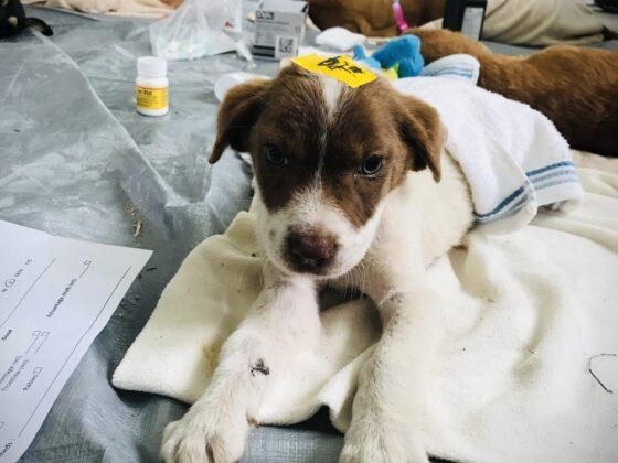 Un chiot récupère de sa chirurgie à la clinique de la FAVI au Belize