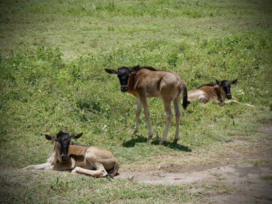 Bébés gnous en Tanzanie