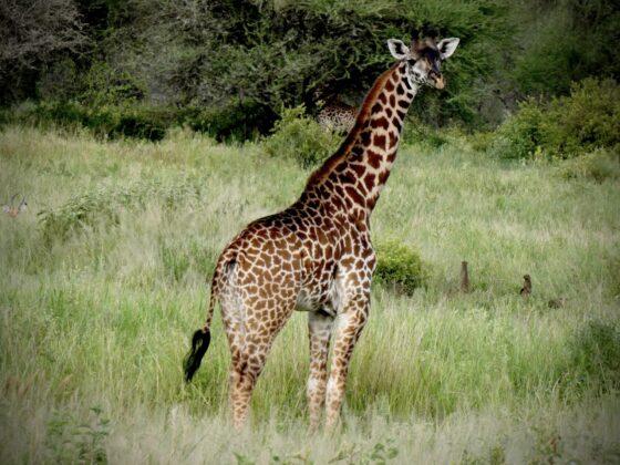 Girafe et mangoustes dans le Serengeti, safari FAVI