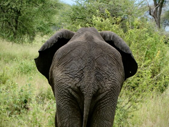 Éléphant à Tarangire, safari FAVI Tanzanie