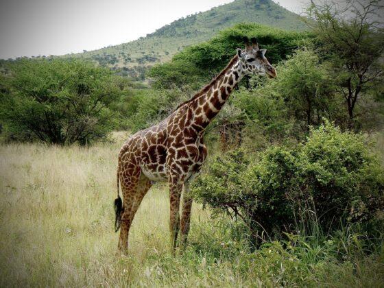 Girafe dans le Serengeti en Tanzanie