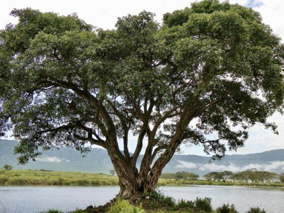 Majestueux arbre dans le cratère Ngorongoro