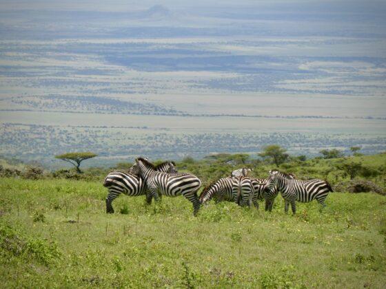 Troupeau de zèbres sur la route menant au Serengeti, safari FAVI Tanzanie