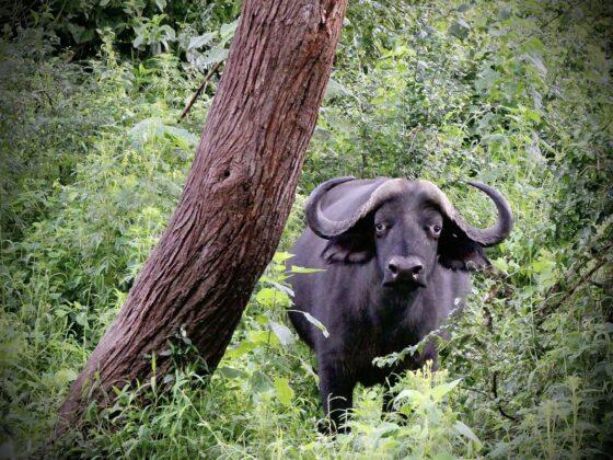 Un buffle avec un air tristounet, safari FAVI Tanzanie