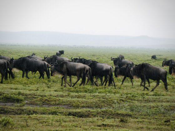 Gnous dans le Serengeti, safari FAVI Tanzanie