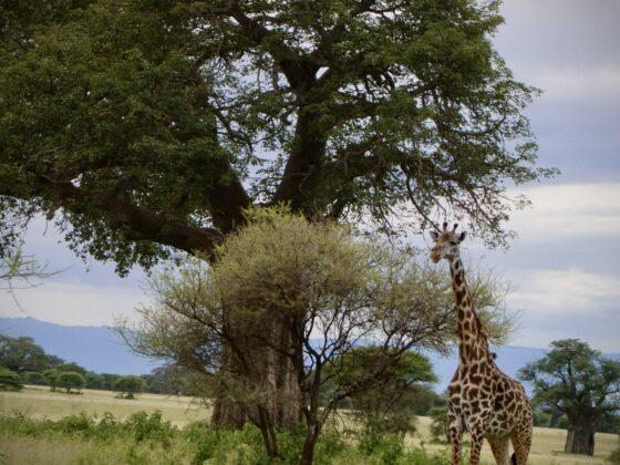 Girafe à Tarangire, safari FAVI Tanzanie