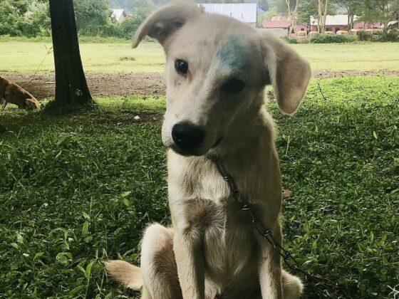 Le trait bleu sur le front signifie que le chien est vacciné contre la rage
