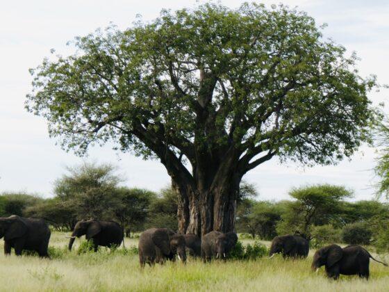 Baobab et éléphants dans le parc Tarangire, safari FAVI Tanzanie