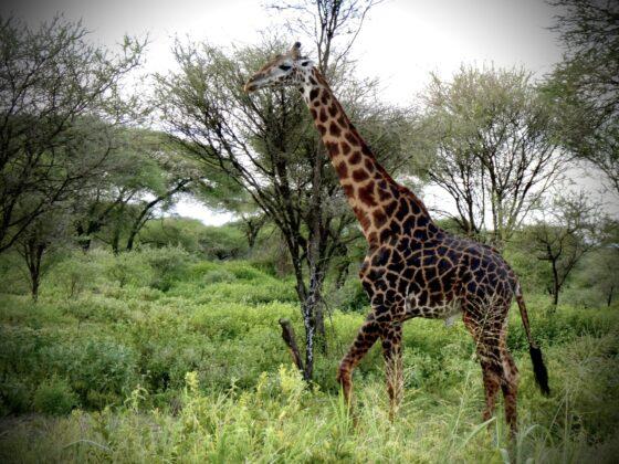 Girafe dans le Serengeti, safari FAVI