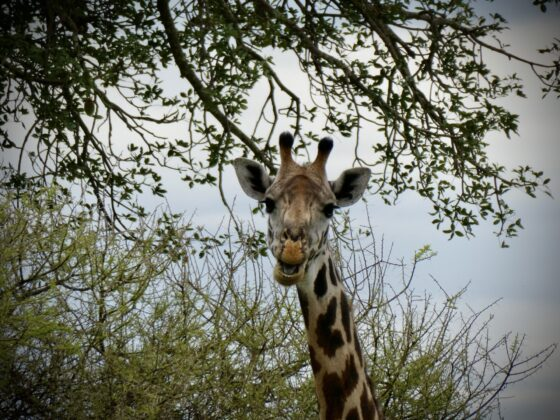 Girafe dans le Serengeti, safari FAVI Tanzanie
