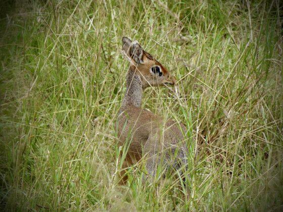 Dik-dik, la plus petite antilope en Tanzanie, safari FAVI