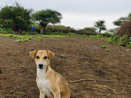 Chien dans un Boma Massaï en Tanzanie, safari FAVI