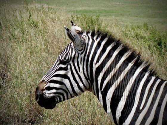 Magnifique zèbre safari FAVI dans le cratère Ngorongoro