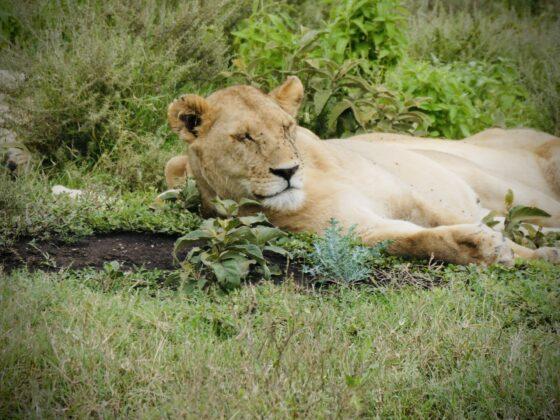 Lionne dans le Serengeti, safari FAVI Tanzanie