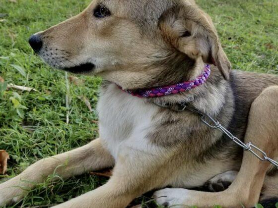 Chaque chien stérilisé par la FAVI reçoit un beau collier