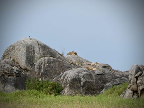 Des lions se reposent sur un kopje en Tanzanie