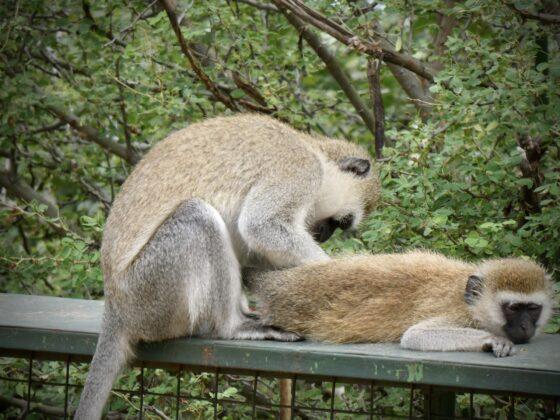 Singes vervets en Tanzanie, safari FAVI