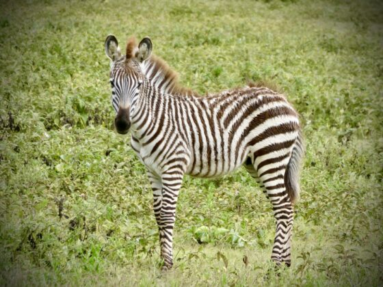 Bébé zèbre en Tanzanie, safari FAVI