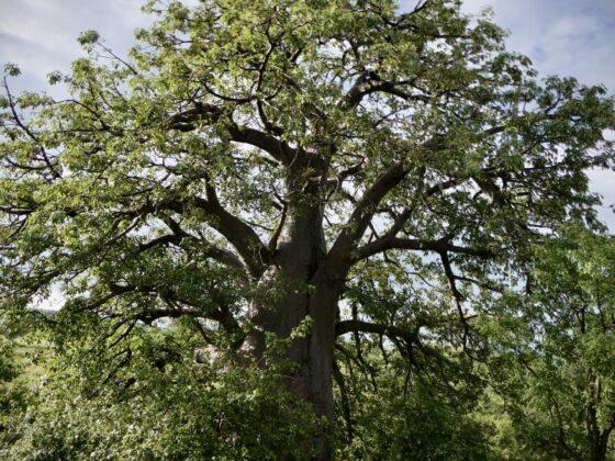 Baobab dans un village massaï, safari FAVI Tanzanie