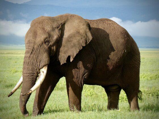Éléphant dans le cratère Ngorongoro, safari FAVI