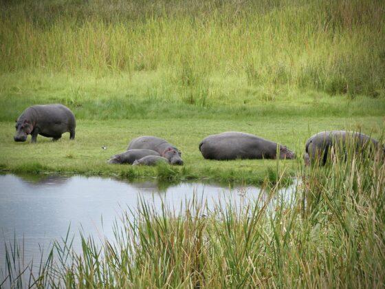 Hippopotames dans le cratère Ngorongoro , safari FAVI