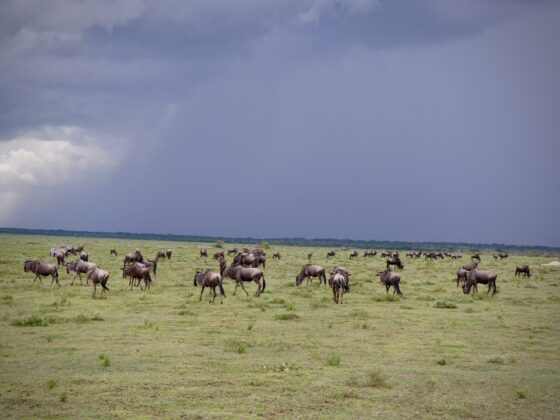 Gnous dans le Serengeti, safari FAVI, temps orageux