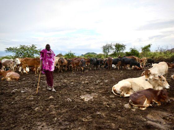 Chef d'un Boma massaï et son troupeau de vaches, safari FAVI Tanzanie