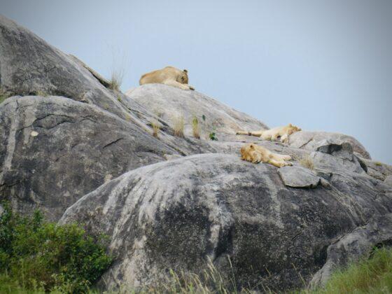 Des lions se reposent sur un kopje en Tanzanie, safari FAVI