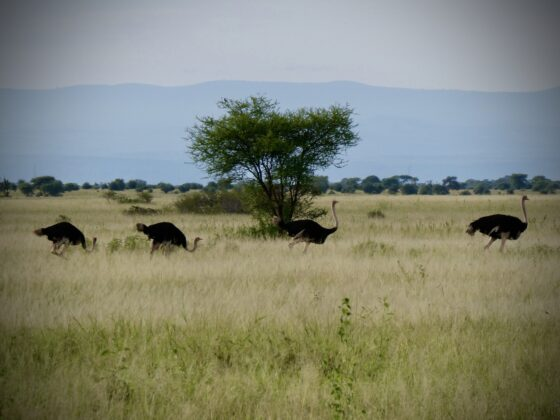 Autruches dans le Serengeti, safari FAVI Tanzanie