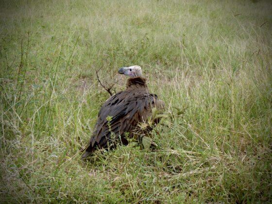 Vautour en Tanzanie, safari FAVI