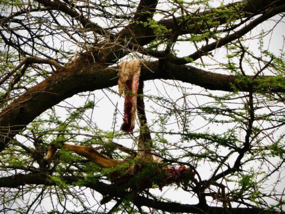 Le léopard monte sa proie dans un arbre pour la dévorer. Safari FAVI Tanzanie