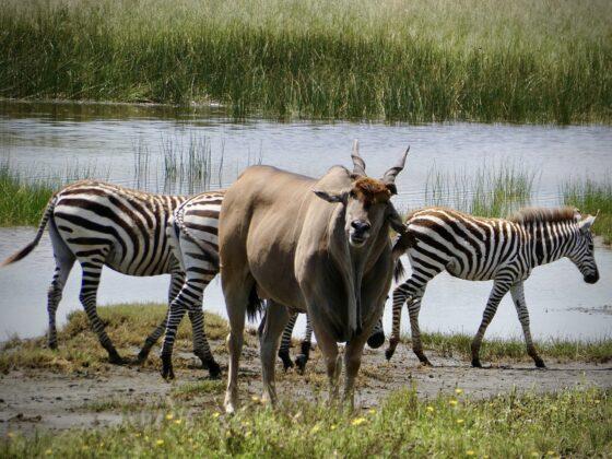 Éland dans le cratère Ngorongoro