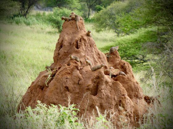 Mangoustes à Tarangire, safari FAVI Tanzanie