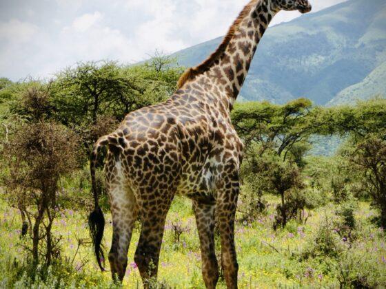Girafe dans l'aire de conservation Ngorongoro en Tanzanie, safari FAVI