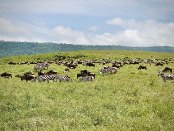 Zèbres et gnous dans le cratère Ngorongoro en Tanzanie