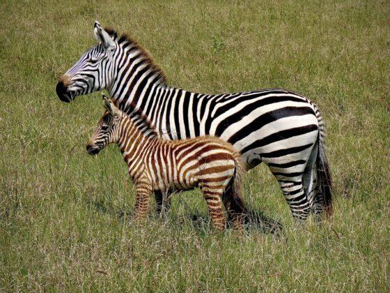 Une mère zèbre et son bébé safari FAVI Tanzanie