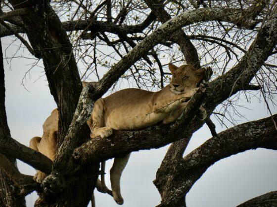 Lionnes dans les arbres dans le Serengeti, safari FAVI Tanzanie