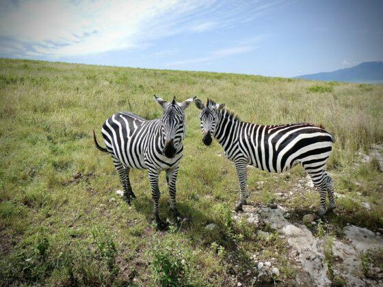 Zèbres dans le cratère Ngorongoro safari FAVI Tanzanie