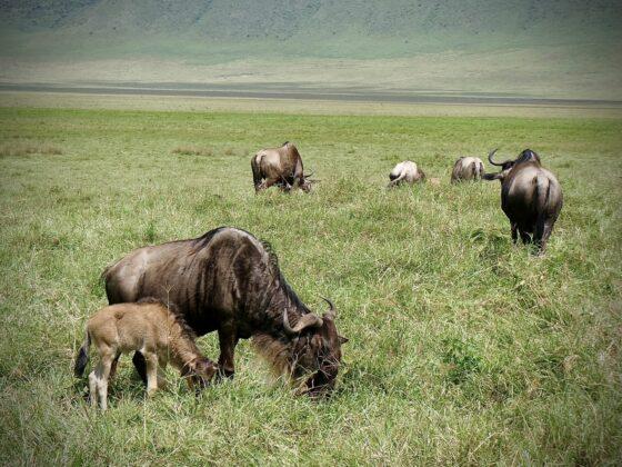 Gnous dans le cratère Ngorongoro safari FAVI