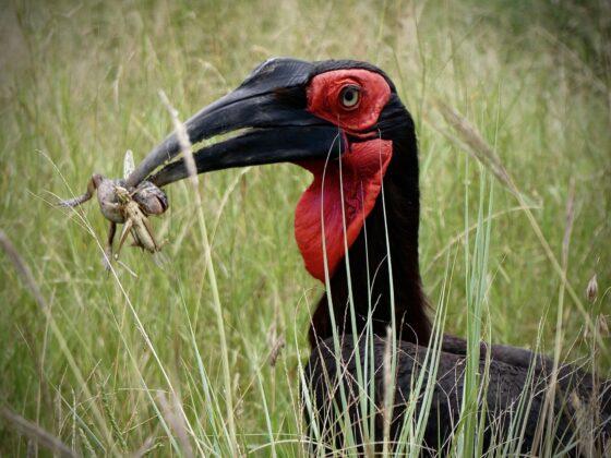 Bucorve du sud en Tanzanie, safari FAVI