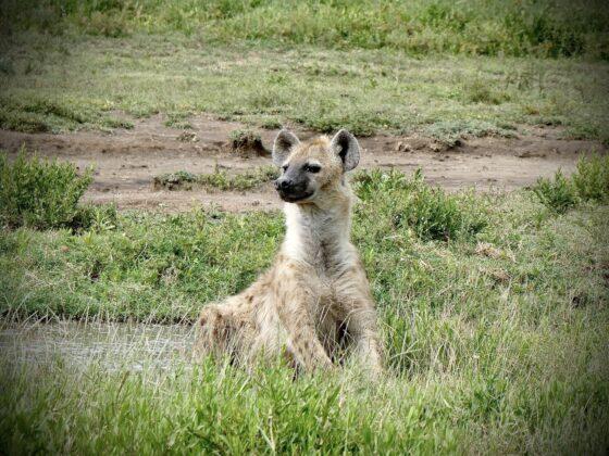 Hyène dans le cratère Ngorongoro, safari FAVI