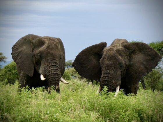 Éléphants à Tarangire, safari FAVI Tanzanie