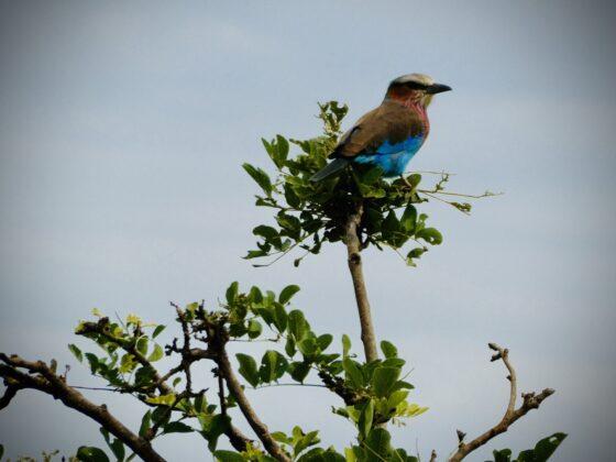 Rollier à gorge lilas, safari FAVI Tanzanie