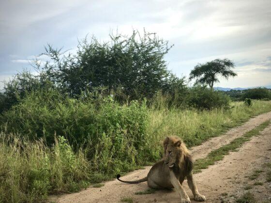 Lion dans le parc Tarangire, safari FAVI Tanzanie